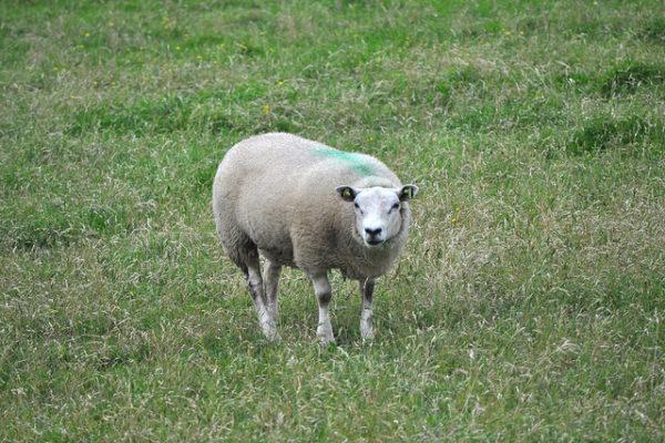 Weiden met korte ei heeft met weiland te maken. Je kunt eeen kudde schapen weiden.